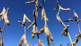 圖為 2019年1月31日,巴西戈亞斯州Rio Verde的大豆種植園。 (圖源:路透社)