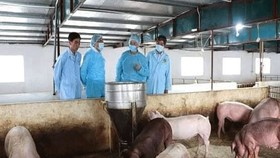 感染非洲豬瘟的豬群。(圖源:東河)