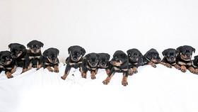 羅茜一胎產下16隻健康狗寶寶。(圖源:互聯網)