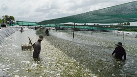 草蝦養殖收穫。(圖源:互聯網)