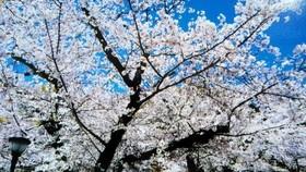 櫻花盛開的時節。