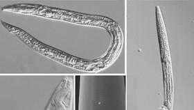 俄羅斯科與普林斯頓大學的研究人員最近解凍了4萬年前凍結的永久凍土層中的沉積物樣本。  (圖源:互聯網)