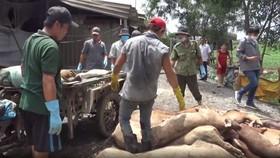 平政縣民兵參與處理豬瘟工作。(圖源:視頻截圖)