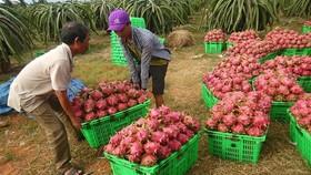 圖為平順省火龍果收穫。(示意圖源:互聯網)