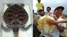 11公斤重的珍稀海龜獲放回大海。(圖源:阮黎)