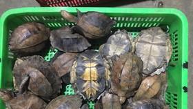 Một số cá thể rùa quý hiếm phát hiện tại trang trại bà Kim Cương
