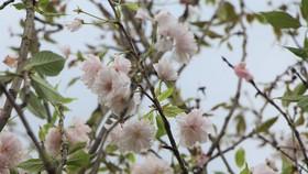 Hoa anh đào Nhật Bản được trồng tại Đà Lạt