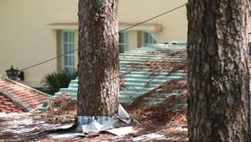 """Những cây thông Đà Lạt bị """"nhốt"""" trong nhà"""