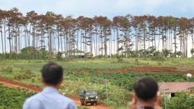 Rừng thông ở Lâm Đồng lại bị đầu độc, chết khô