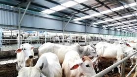 Tỉnh Thái Bình cần thúc đẩy phát triển chăn nuôi đại gia súc