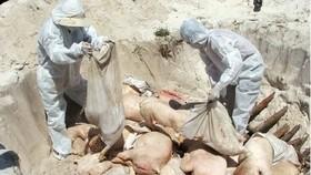 """Dịch tả heo châu Phi: 3,3 triệu con heo chết, chỉ còn """"sót"""" tỉnh Ninh Thuận"""