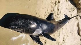 Cá voi con chết dạt vào bờ biển Hòn Cau.