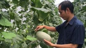 Muskmelon farming area is broadening in many localities of Vietnam (Photo: SGGP)