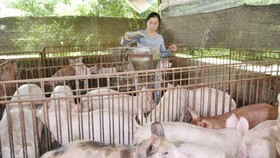 Pig breeders have been inspired with price rebound (Photo: SGGP)
