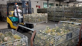 Fresh pineapples are stocked at the Tien Giang Vegetables and Fruits Joint-Stock Company in the southern province of Tien Giang. (Photo: VNA/VNS)