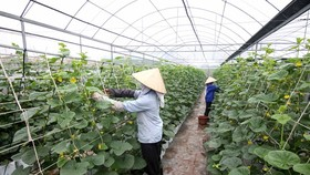 Hai Dang farm in My Thang Commune of Nam Dinh Province, with a total area of 12,000 sq.m. of greenhouse, is an example of hi-tech agriculture production in Nam Dinh Province, generating VND200 million (US$8,800) in profits a year.  (Photo: VNA/VNS)