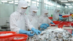 Workers processing export shrimp at Seafood Joint Stock Company No. 1 in HCMC (Photo: SGGP)
