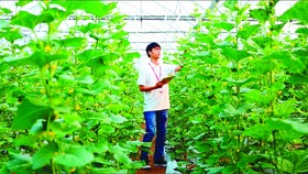 Hi-tech musk melon farming in HCMC (Photo: SGGP)