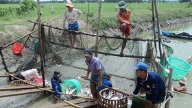 Farmers harvest pangasius fish in the Mekong Delta (Photo: SGGP)