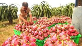 The farmer is harvesting dragon fruits  (Photo: SGGP)