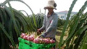 A farmer harvests dragon fruit in Binh Thuan province (Photo: SGGP)