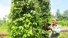 A man taking care of black pepper plants in Ba Ria-Vung Tau (Photo: SGGP)