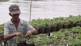 A farmer prepares Tet flower in Sa Dec flower village, Dong Thap province