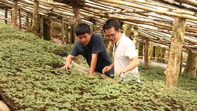 Ginseng growing zone of Ngoc Linh Ginseng Kon Tum Joint Stock Company. (Photo: SGGP)