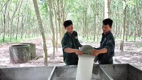 Workers collect rubber sap at Dau Tieng Rubber Company. (Photo: SGGP)