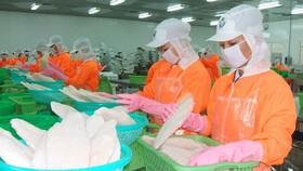 Processing pangasius for export in An Giang Province. (Photo: SGGP)