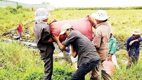Farmers harvest paddy in the Mekong Delta provinces. (Photo: SGGP)
