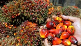 Fruit palm at a garden in Medan, Indonesia (Photo: AFP/VNA)