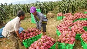 Farmers harvest dragon fruits