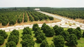 A 120 hectare jackfruit farm of Vinamit Company in Phu Giao district, Binh Duong province (Photo: SGGP)