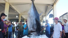 Fishermen catch a nearly 400 kilogram tuna in Central Vietnam