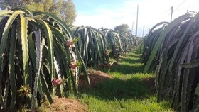 Dragon fruit price has dropped from VND30,000 a kilogram a week ago to VND10,000-12,000 on June 22 (Photo: SGGP)
