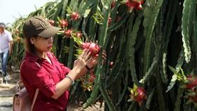 Dragon fruits in Long An