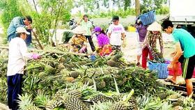 Sản xuất dứa xuất khẩu tại đồng bằng sông Cửu Long