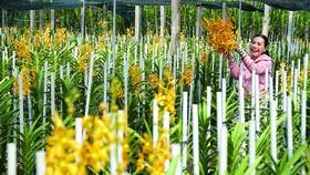 """Với hơn 2.000 cành lan bình quân bán mỗi ngày, vườn lan của anh Bùi Văn Cường được mệnh danh là """"Tỷ phú hoa lan vùng nông thôn mới"""" tại xã Phước Hiệp"""