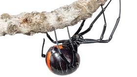 """Phát hiện họ hàng mới của nhện """"góa phụ đen"""""""