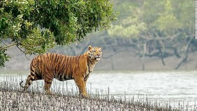 Hổ Bengal kêu cứu