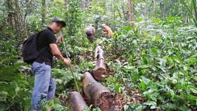 Nhiều vụ phá rừng tại Thừa Thiên - Huế được báo chí phản ánh thời gian qua khiến nhiều cán bộ lâm nghiệp bị kỷ luật 