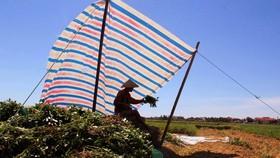 Người dân ở Hà Tĩnh dựng lán che để thu hoạch lạc