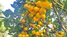 Cam trĩu quả ở Hà Tĩnh chờ xuất bán dịp Tết Nguyên đán