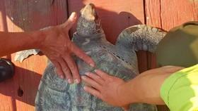 Con rùa biển trước lúc được thả về biển