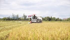 Người dân ở Hà Tĩnh đang gấp rút thu hoạch lúa