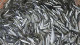 Ngư dân trúng vụ  cá kiền, cá trích