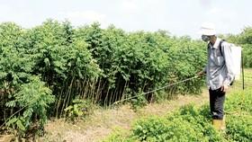 Thuốc trừ cỏ đang được sử dụng tràn lan                                                               Ảnh: VĂN PHÚC