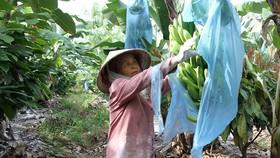 Giống chuối Nam Mỹ và cây ca cao phát triển tốt  trên vùng đất Ea Súp