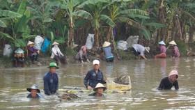 Một buổi thu hoạch thuốc nam của Tổ tầm dược xã Vĩnh Thới  tại ấp Phú Thành, xã Tân Phú Đông (TP Sa Đéc)